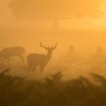 Deer grazing in a red haze